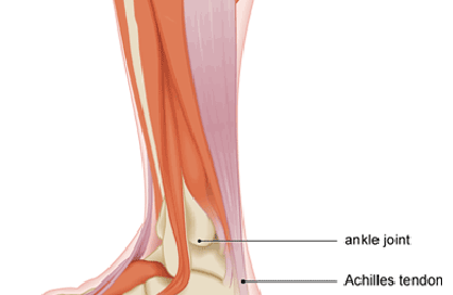 Achilles tendon and gastroc muscle